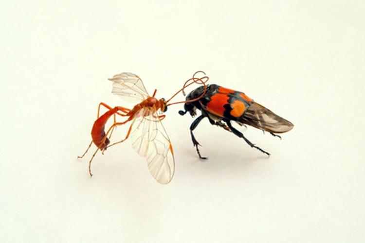 Los ciclos de vida de los insectos muestran una variación extrema.