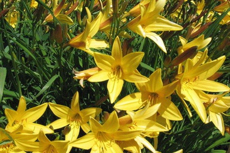 Los lirios son una flor abundante en la familia de las liliáceas.