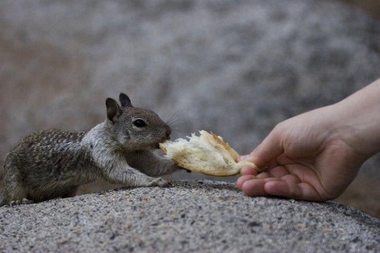 Aprende a alimentar a las ardillas.