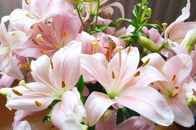 Cada variedad de azucena tiene su propio horario de crecimiento interno.