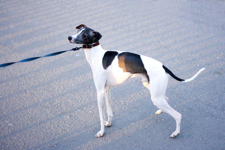 Pon a práctica tu paciencia y persistencia para entrenar exitosamente a tu cachorro con la correa.
