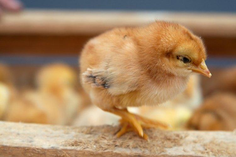Identifica a los pollitos observando su comportamiento.