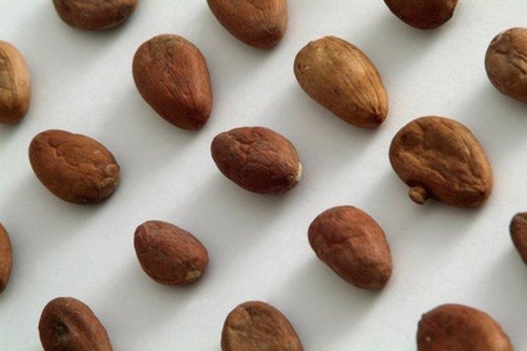 Granos de cacao en fila.