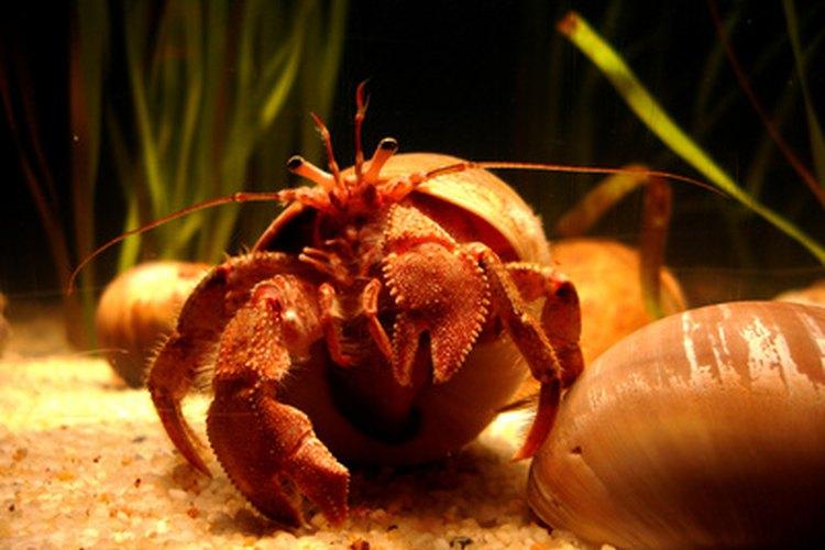 Los cangrejos hermitaños marinos pueden ser mascotas geniales.