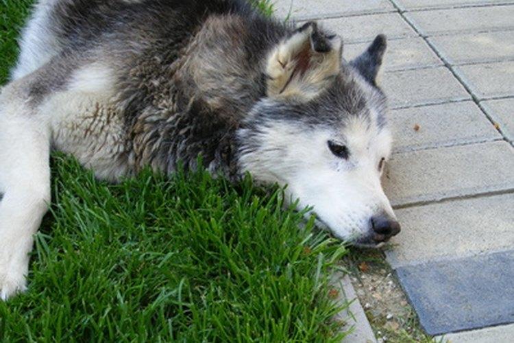 El letargo repentino en un perro puede indicar una emergencia de salud.