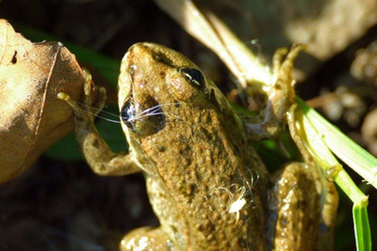 El sapo bufo se encuentra más comúnmente en Texas y Florida.