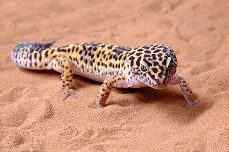 Las lagartijas se encuentran en una variedad de hábitats.