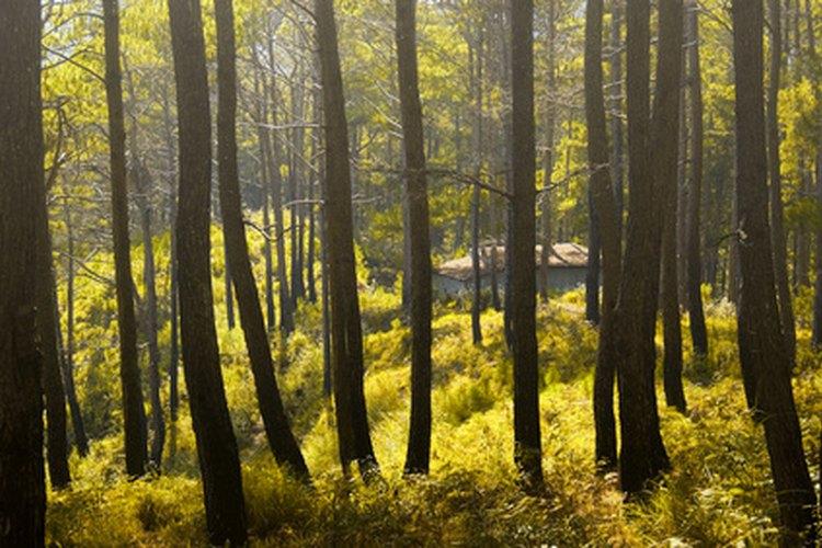 Son muchas las enfermedades que pueden afectar al árbol del pino.