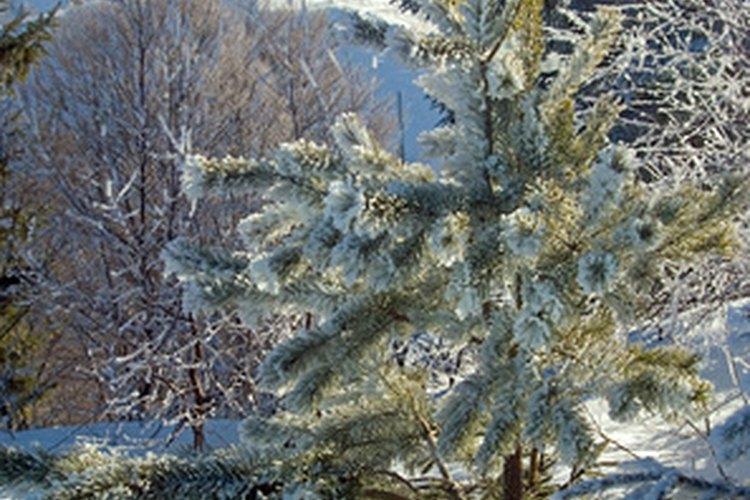 La retención de hojas en el invierno permite a los pinos la fotosíntesis durante el deshielo.