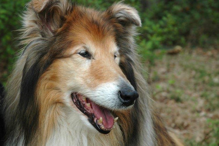 Lassie fue el collie más querido por los niños en la década del setenta.