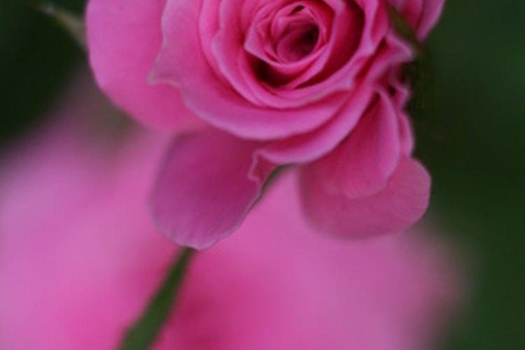 Las rosas rosas, como las rojas, tienen un significado específico.