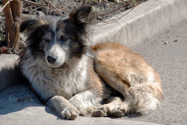 La diarrea produce mucha debilidad en los perros.