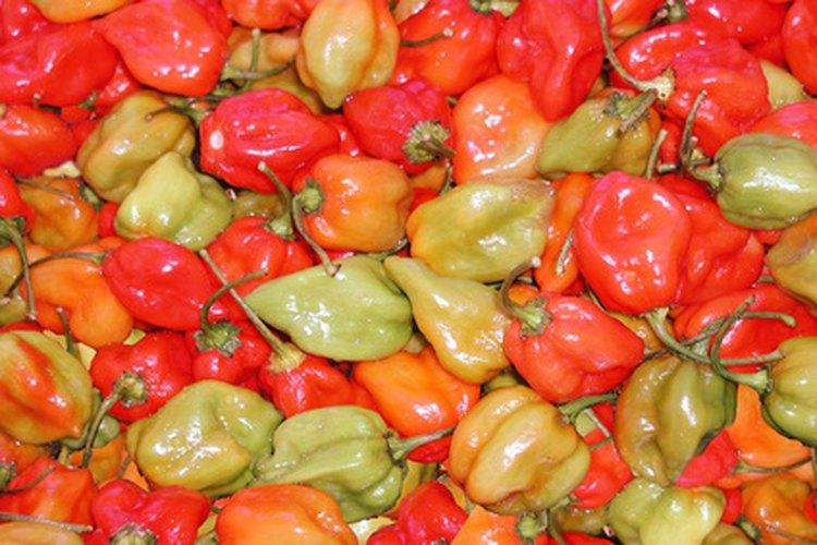 Cultiva tu propia planta de chile habanero y no vuelvas a comprarlos en una tienda.