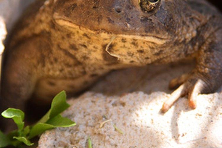 Las ranas y los sapos son animales adorados por los niños.