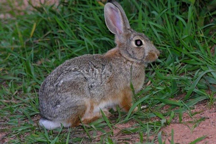 Las largas patas traseras de un conejo hacen que sus huellas sean fáciles de identificar.