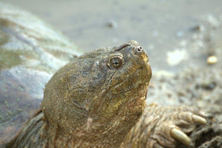 Las tortugas lagarto no son agresivas como la gente piensa.