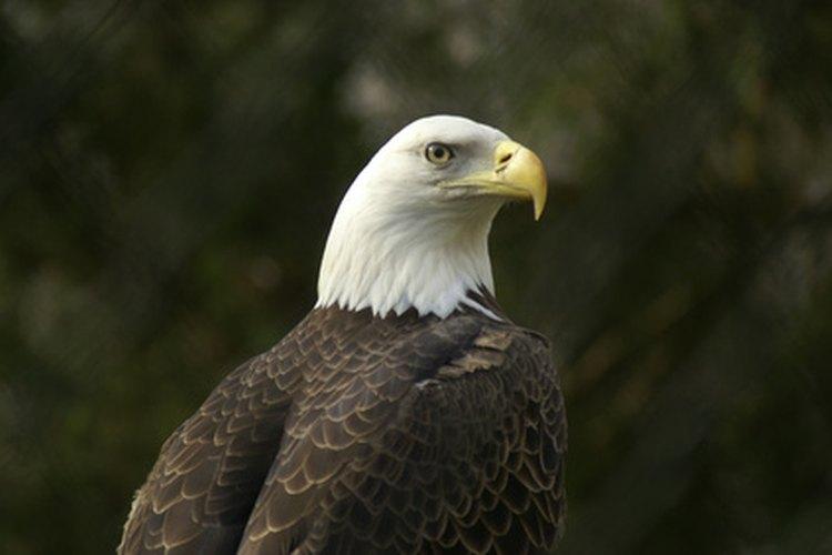 La mitad de las 70.000 águilas calvas americanas del mundo viven en Alaska, de acuerdo con la información provista por Bald Eagle.