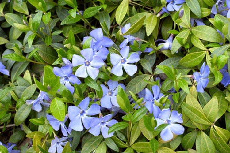 El cuidado adecuado de las plantas de vinca incrementa las flores y el follaje.