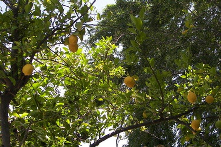 Limoneros altos con fruta madura.