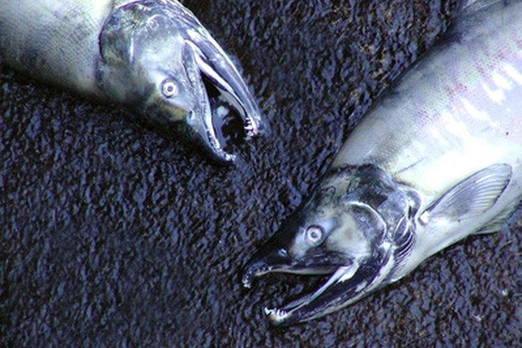 El salmón es uno de los pescados más populares para ahumar.