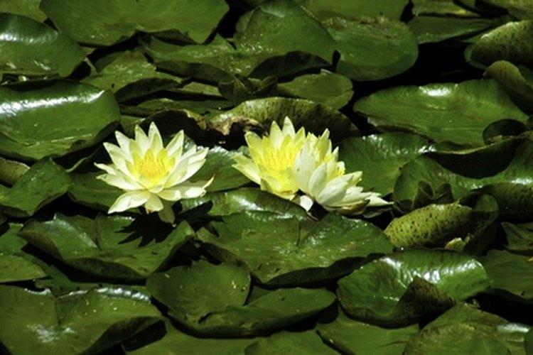 Dos flores de el corazón flotante amarillo