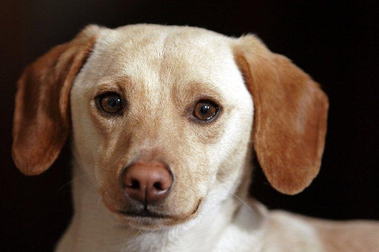 Piebald es una de las coloraciones de los dachshund.
