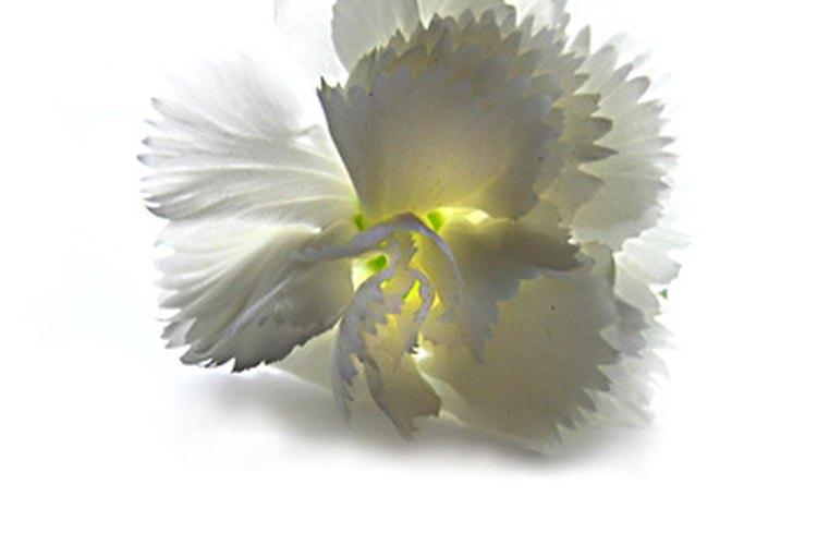 La forma distintiva de los pétalos de un clavel blanco.