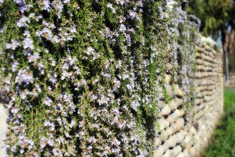Las plantas trepadoras son ornamentales así como funcionales, proveyendo belleza y cobertura.