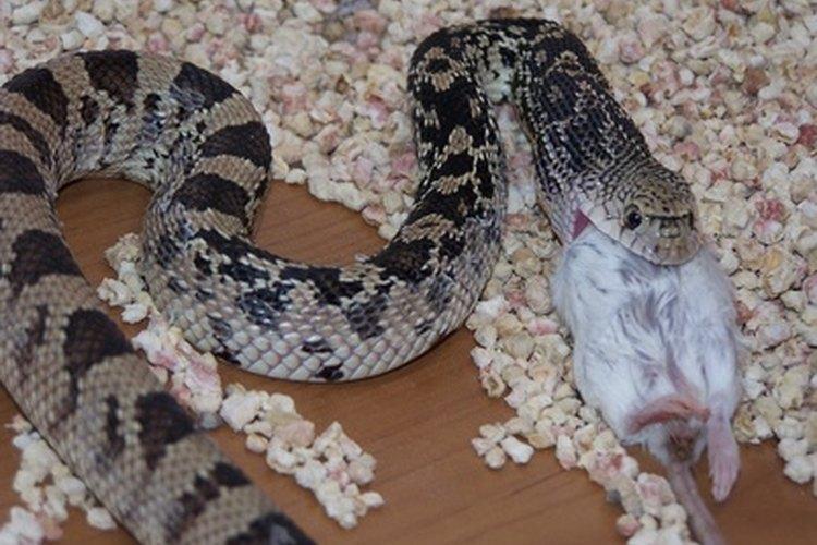 Las serpientes pueden extender su tráquea como un sorbete al respirar mientras tragan.