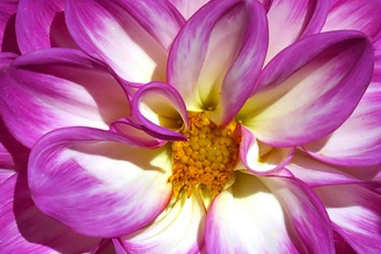 Las dalias son una de las muchas flores nativas de México.