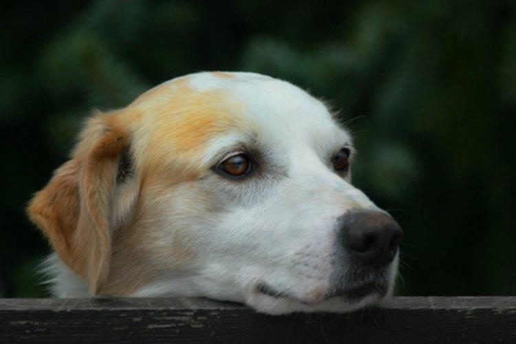 Un fuerte olor de la orina puede indicar una afección de salud subyacente en los perros.