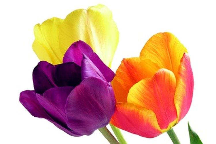 Los tulipanes vienen en muchos colores.