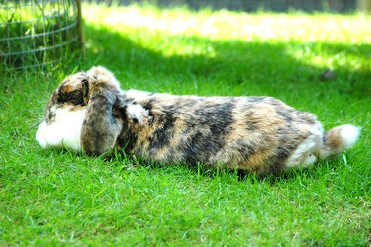 Tus conejos alojados al aire libre requieren de desparasitantes.