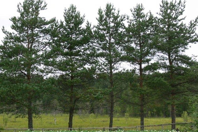 Los pinos son un subgrupo de las coníferas, que incluye todos los árboles que producen conos.
