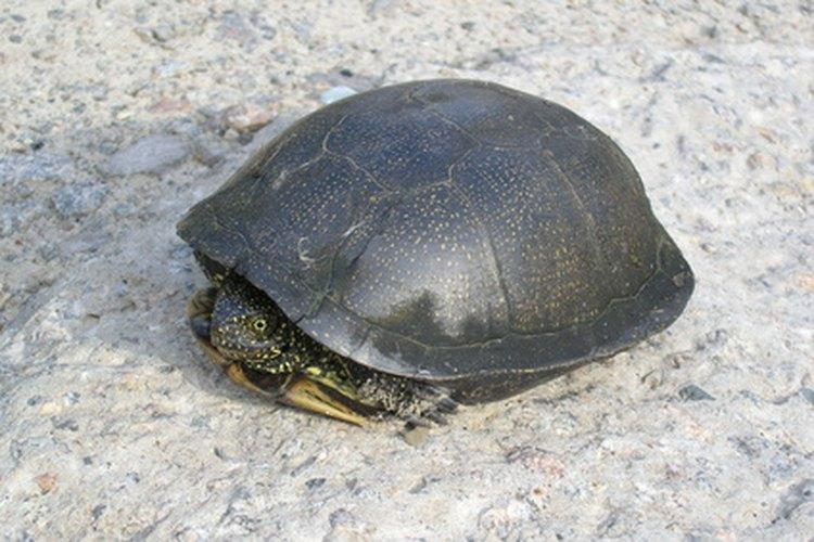 La tortuga se consideraba una criatura mágica.
