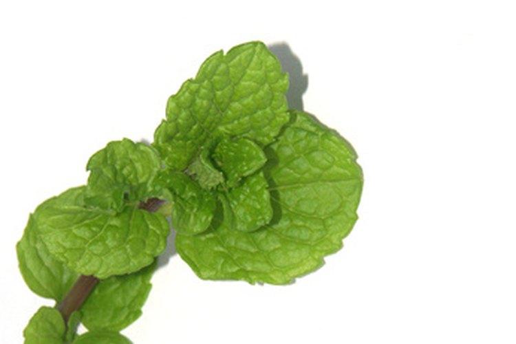 El mentol se encuentra en forma natural en las hojas de hierbabuena.