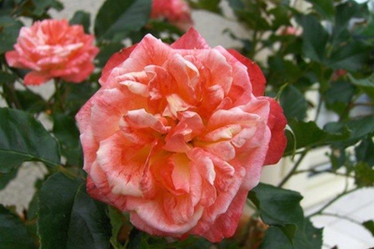 Las rosas se ven hermosas pero necesitan mucho cuidado
