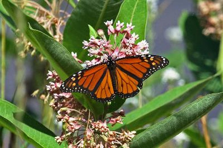 Las asclepias atraen a las mariposas monarcas.