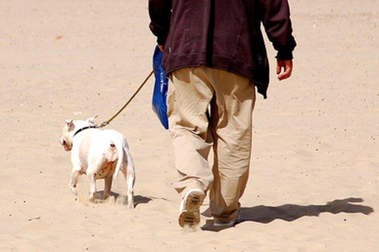 Los bulldogs inglés adoran pasar tiempo con sus dueños.