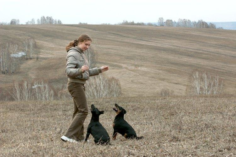 Los terriers, como todos los perros, necesitan una guía fuerte.