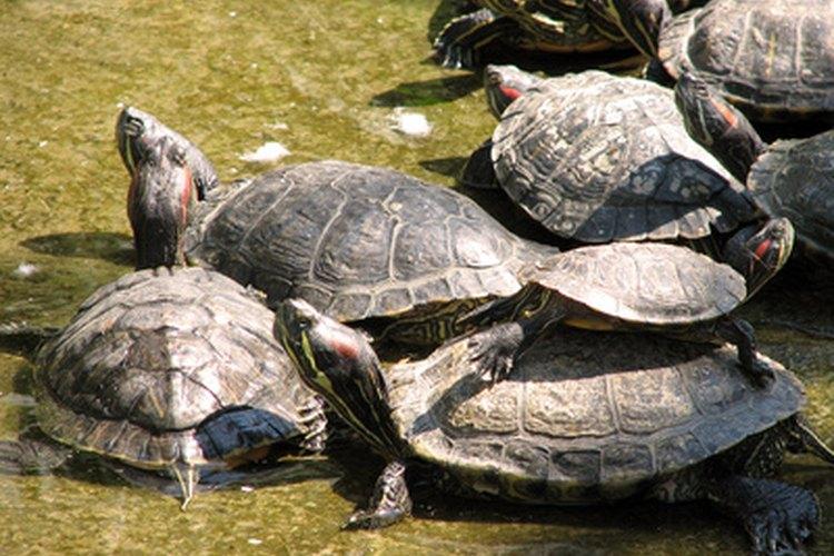 Un grupo grande de tortugas de orejas rojas toman sol en verano.