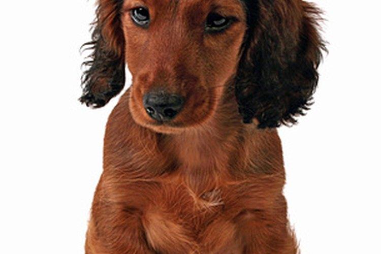 Los perros salchicha fueron criados para cazar tejones.
