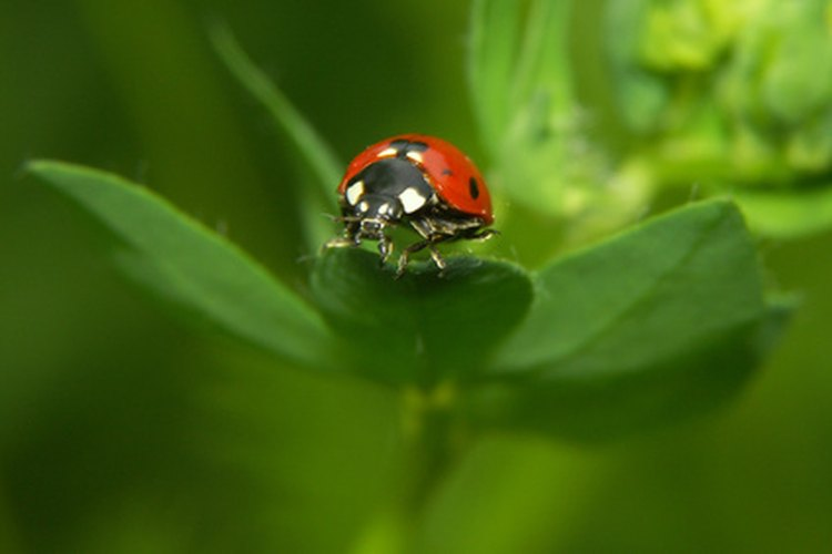 La mayoría de los insectos pasan su vida apareándose.