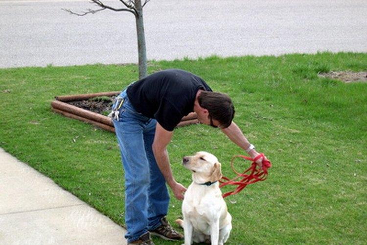 Los perros ciegos, sintiéndose inciertos, pueden volverse confusos y desorientados durante sus paseos.