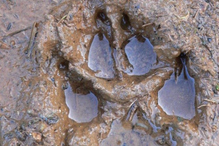 Una huella de una garra canina es distinta a la felina.