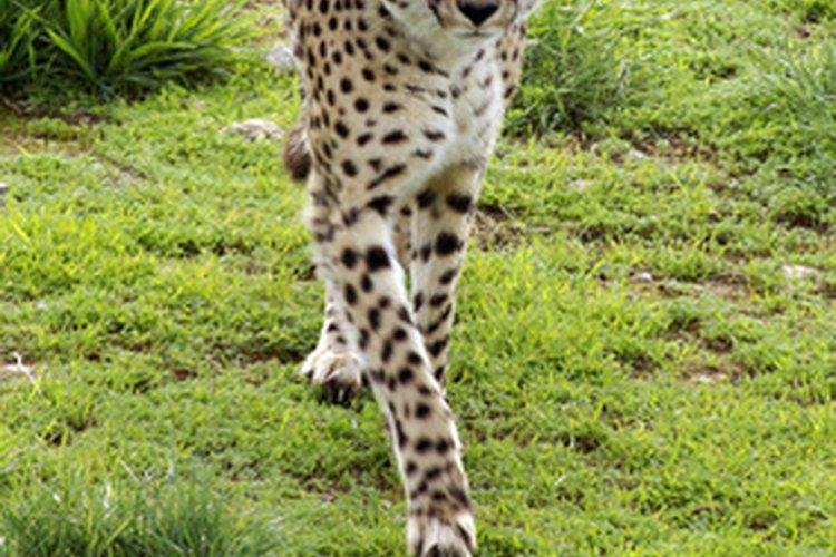Los guepardos son asesinados por su piel o capturados por su capacidad de caza.
