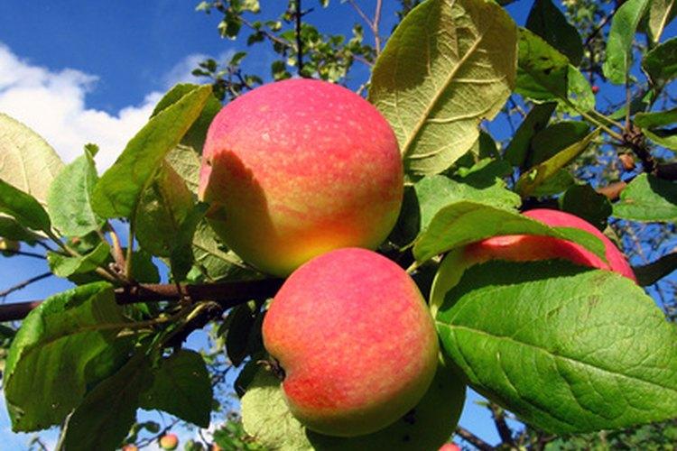 Los manzanos producen fruta cuatro o cinco años después de plantados.