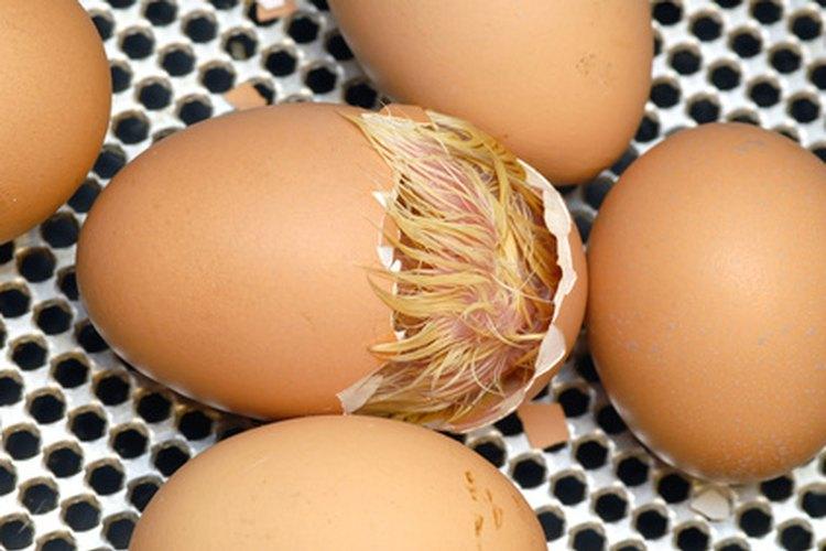 Incubando huevos de gallina.