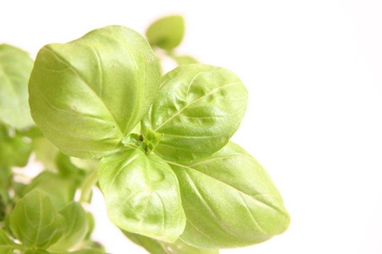 La planta de albahaca llega a la madurez en 3 meses.