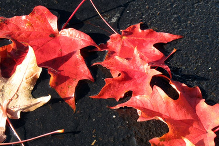 Los estudiantes pueden recoger e identificar las hojas alrededor de la escuela.